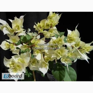 Бугенвиллия Limberlost Beauty(махровая белая)