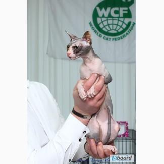 Предварительная запись на котят донского сфинкса WCF