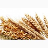 Закупаем разноклассовую пшеницу, дорого