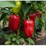 Семена Перца весовые и пакетированные от производителя оптом с первых рук