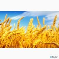 Закупаю пшеницу. Куплю пшеницу 2, 3, 4, 5 класса