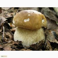 Мицелий белого гриба ЖИВОЙ СВЕЖИЙ - качественный с гарантией