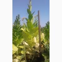 Семена табака домашние