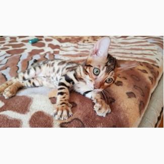 Купить бенгальского кота Винница