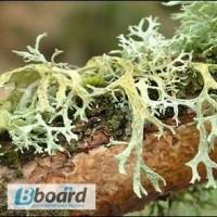 Абсолют дубового мха дубовый мох эфирное масло