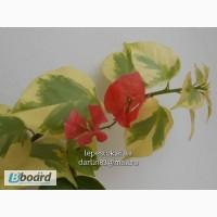 Бугенвиллия Dauphine(пестролистная красная)