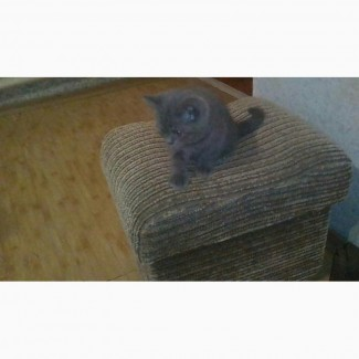 ШикарньІй британский котенок