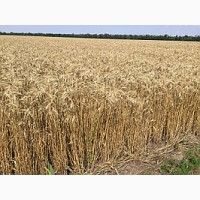 Озимая пшеница Шестопаловка, семена (элита 1-я репродукция) урожай 2019 г