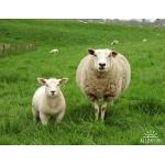 Продам овец , овец с ягнятами