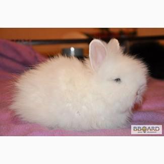 Кролики ангорские (2 мес.)
