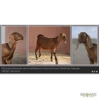 Продам козла англо-нубийской породы