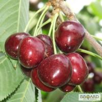 Продам саженцы фруктовых деревьев