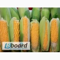 Любава 279 МВ гибрид кукурузы