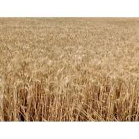 Озимая пшеница Мудрость Одесская, семена (элита, 1 репродукция), урожай 2019 года