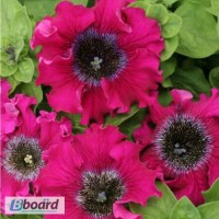 Продам семена петуния крупноцветковая превосходнейшая Бордовая F1