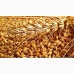 Куплю пшеницю ІІ класу, Киевская обл