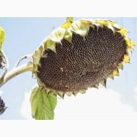 Гібрид соняшнику під Гранстар Матіс (Solar Seeds) рекордсмен по урожаю в 2017р (38 ц/га)