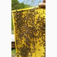 Бджолопакети Карпатка. Бджолины плідні матки