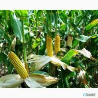 Моника 350 МВ высокоурожайный гибрид кукурузы