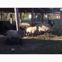 Продам 4 овець