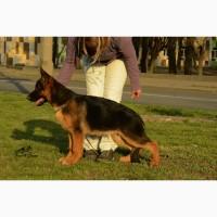 Питомник TsariGrant предлагает широкий выбор первоклассных щенков немецкой овчарки