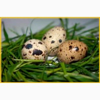 Яйца перепелиные - перепела, мясо - домашние
