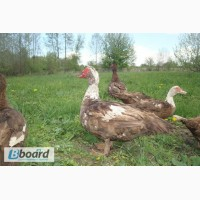 Утки и селезни, порода - красные мускусные ( шипуны). Яйца инкубационные