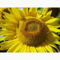 Насіння ультрараннього гібриду соняшника Аттіла (95 – 100 дн.)