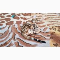 Бенгальский котенок купить Львов