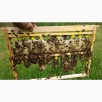 Бджолинні Матка Карпатка F1 2020 року тип Вучковський Заказ