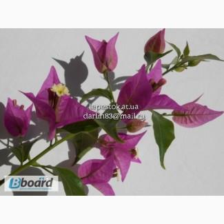 Бугенвиллия Glabra Violett (лиловая)