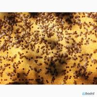 Пчеломатки Бакфаст в72 в60 в4 в366 в21