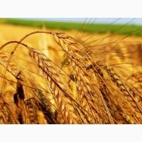 Куплю пшеницу оптом, дорого