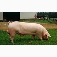 Продам кнуров (хряк) и свинок (ремок), Днепропетровская обл