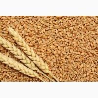 Семена озимой пшеницы MASON 1реп