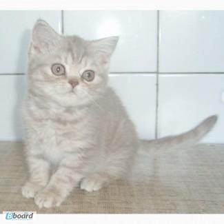 Чистокровные британские котята от питомника UA Busyabri(FIFe)