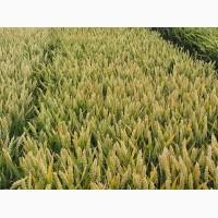 Семена озимой пшеницы FOX 1реп