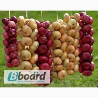 Семена Лука весовые и пакетированные с первых рук от самого производителя