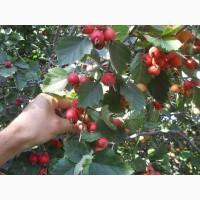 Саженцы крупноплодного боярышника