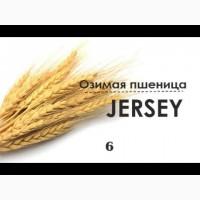 Семена озимой пшеницы Джерси