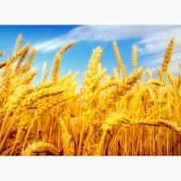 Закупаем пшеницу 2-6 класса.Кукурузу, Ячмень, Сою.Вся территория Украины