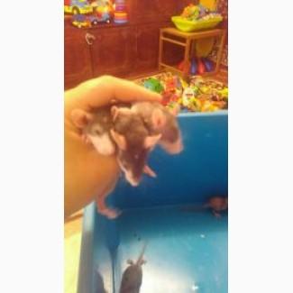 Отдам крысят дамбо