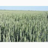 Семена озимой пшеницы TESLA 1 репродукция