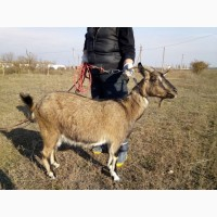 Продам дойных коз