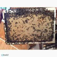 Бджолопакети карпатка 2017