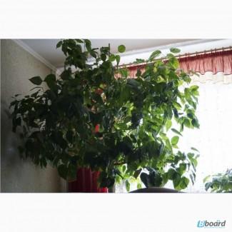 Гибискус-китайская роза для офиса и дома
