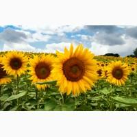 Продам насіння соняшнику гібрид Армагедон