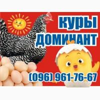 Цыплята куры несушки Доминант. Чехия
