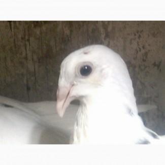 Продам голубей породы одесский горбонрсыгорбонрсый