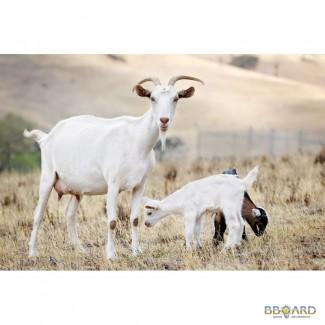 Продам козу (коз)